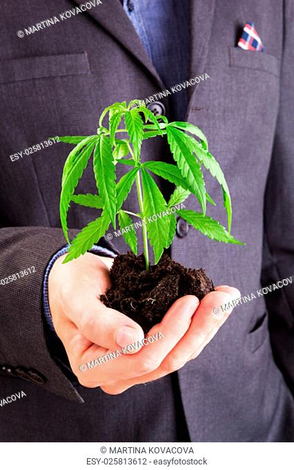 Caucasian handsome man in suit hodling young cannabis plant with soil in his hand. Drug dealer
