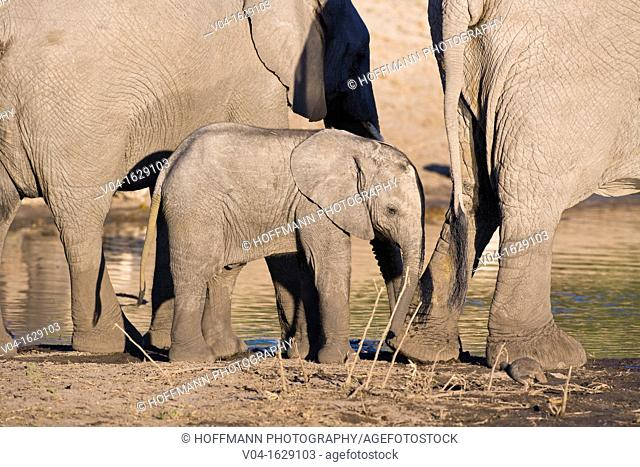 A baby elephant (Loxodonta africana) at a waterhole in Botswana, Africa