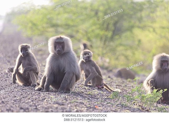 Africa, Ethiopia, Rift Valley, Awash, Hamadryas baboon (Papio hamadryas), Dominant male and family