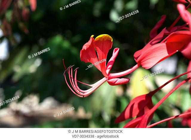 Pride of Burma (Amherstia nobilis) is an ornamental tree native to Myanmar