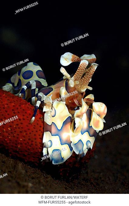Harlekin Shrimp feeding on Starfish, Hymenocera elegans, Bali, Seraya, Indonesia