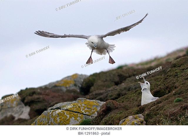 Northern Fulmar or Arctic Fulmar (Fulmarus glacialis) hissing at a passing bird, Fair Isle, Shetland, Scotland, United Kingdom, Europe