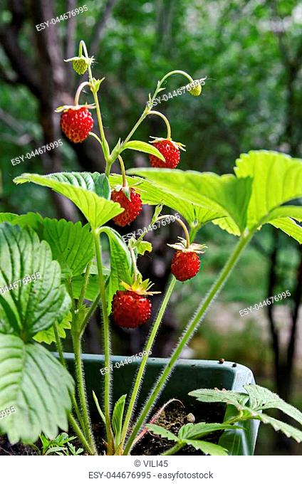 Ripe and green wild strawberry fruit in the springtime view background, Sofia, Bulgaria