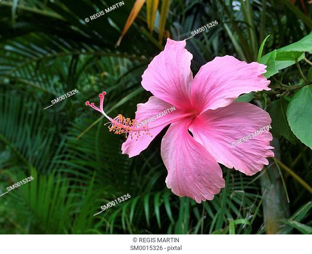 Pink Hibiscus rosa-sinensis flower
