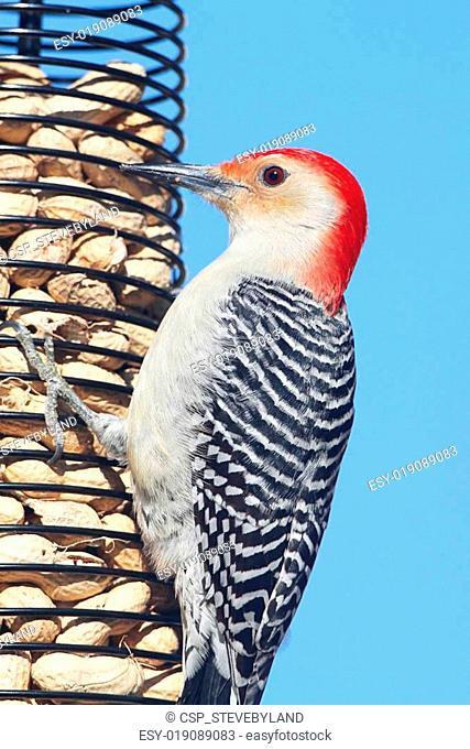Red-bellied Woodpecker (Melanerpes carolinus) on a Peanut Feeder