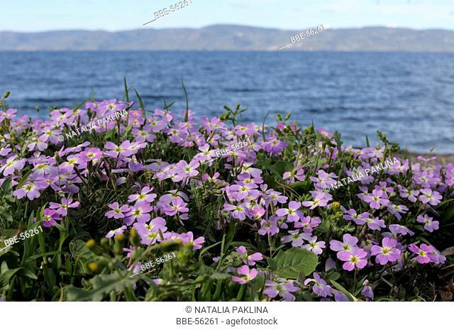 Flowering Sea Stock on the coast of the Aegean Sea