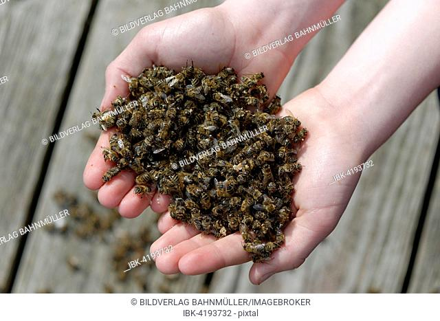 Dead bees in the hands of a beekeeper, colony collapse disorder, CCD, due to the Varroa mite, Upper Bavaria, Bavaria, Germany