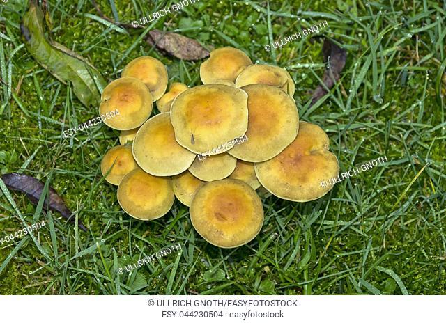 Heap of mushrooms in a wet meadow