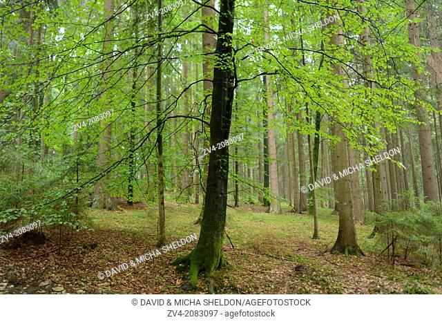 Landscape of an European beech or common beech (Fagus sylvatica) tree in a forest in autumn, Upper Palatinate, Bavaria, Germany