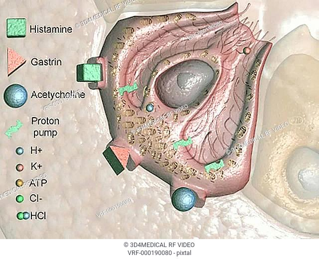 An animation depicting the chemical exchanges within the parietal cell. This is animation is Part 1 of 2 parts