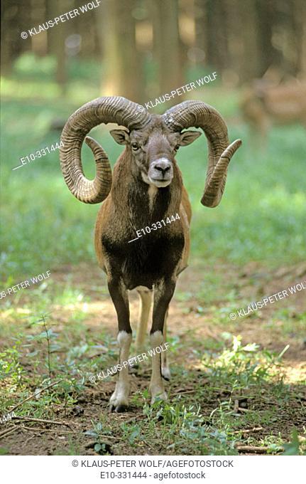 Argali (Ovis ammon)