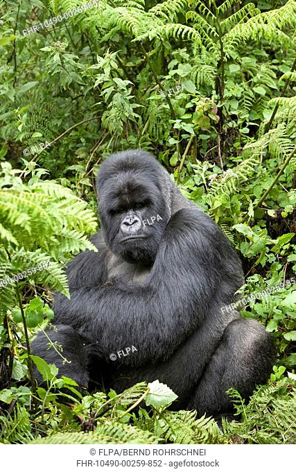 Mountain Gorilla Gorilla beringei beringei silverback adult male, sitting in vegetation, Volcanoes N P , Virunga Mountains, Rwanda