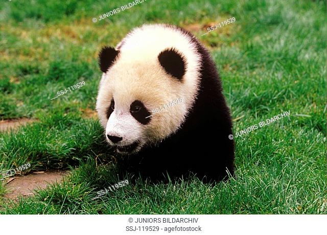 giant panda - on meadow / ailuropoda melanoleuca