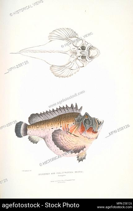 Deformed Hog Fish, Synanaceia grossa. Singapore. Gray, John Edward, 1800-1875 (Creator). Illustrations of Indian zoology: chiefly