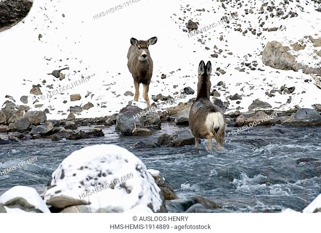 United states, Wyoming and Montana States, Yellowstone National Park, listed as World Heritage by UNESCO, Mule Deer (Odocoileus hemionus)