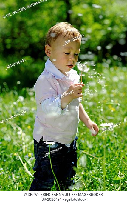 Little boy, 2 years, with a dandelion clock in the garden