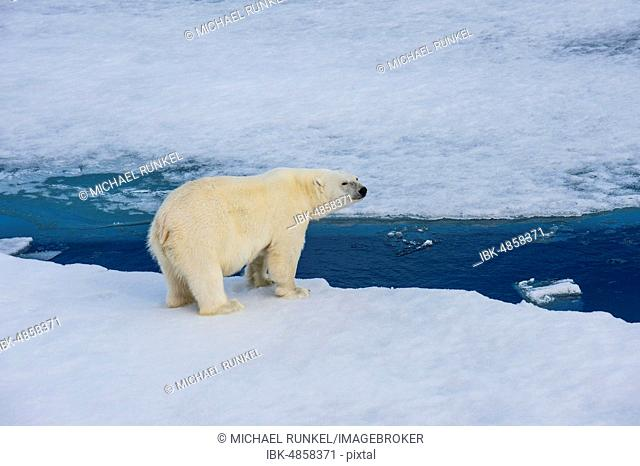 Polar bear (Ursus maritimus) on a ice floe, Arctic, Svalbard, Norway