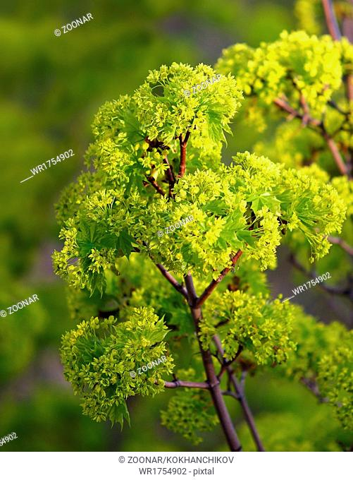 young maple leaves in spring bloom