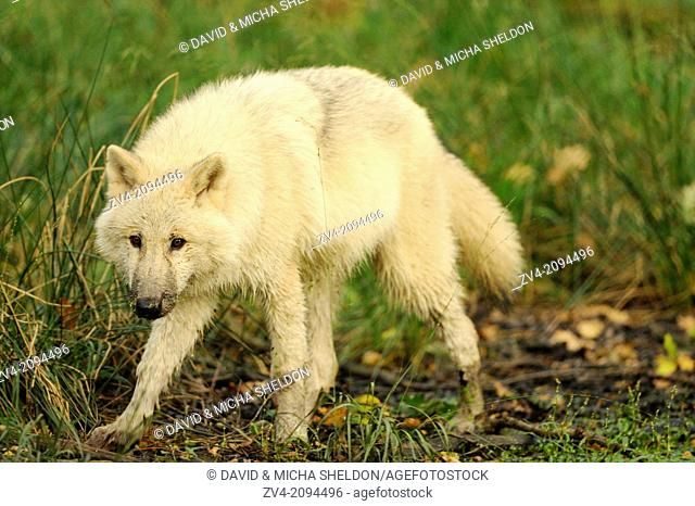 Cose-up of an arctic wolf (Canis lupus arctos) youngster
