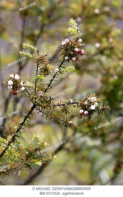 Pukiawe (Styphelia tameiameiae), berries, Kipuka Puaulu Reserve, Hawai?i Volcanoes National Park, Big Island, Hawaii, USA