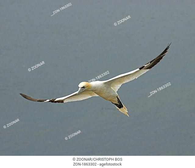 Basstölpel, Northern gannet, Sula bassana or Morus