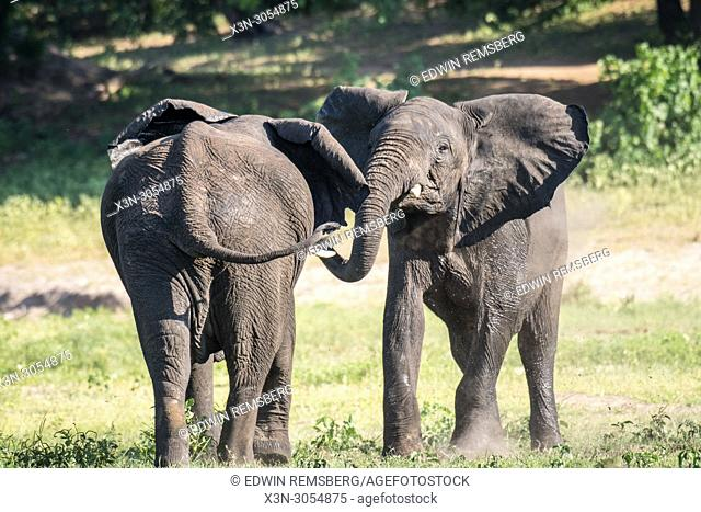 Two elephants engage in play together, Chobe National Park - Botswana