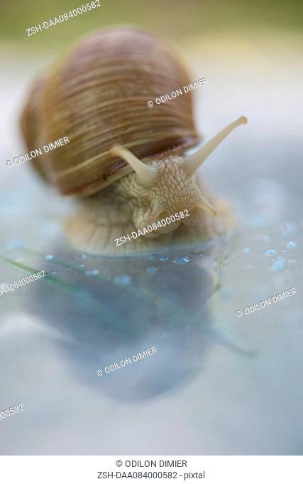 Snail, close-up