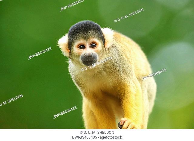 common squirrel monkey (Saimiri sciureus), portrait