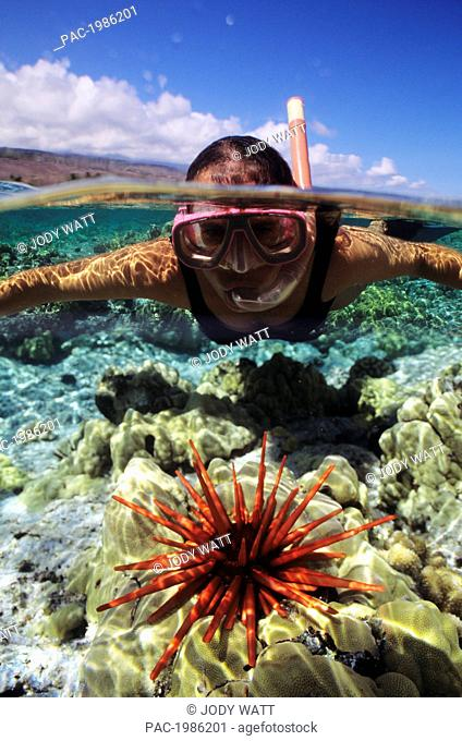 Hawaii, Over/Under View Of Snorkeler With Pencil Urchin, Coral Reef And Clear Turquoise Water