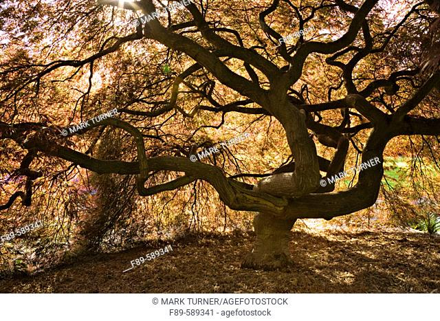 Japanese Maple contorted trunk, backlit fr below, spring (Acer palmatum 'Dissectum'). Kubota, Seattle, Washington. USA