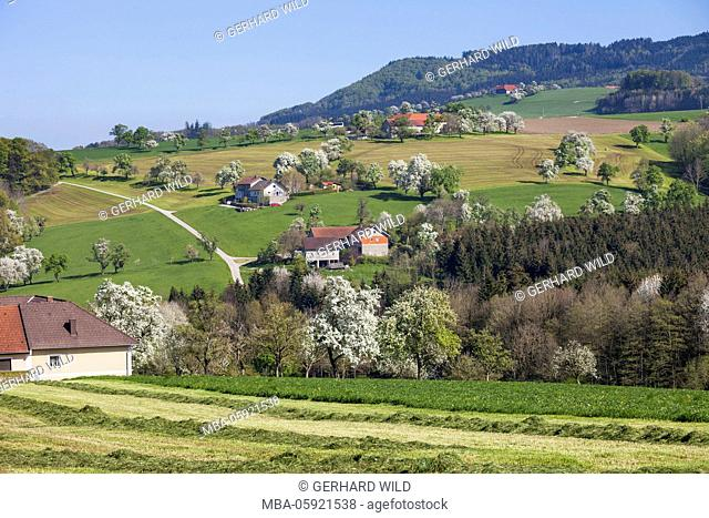 blossoming must pear trees, Mostviertel, Lower Austria, Austria, Europe