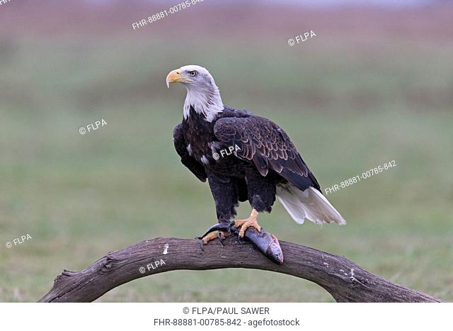 Bald Eagle (Haliaeetus leucocephalus) adult, perched on fallen tree with fish prey, controlled subject