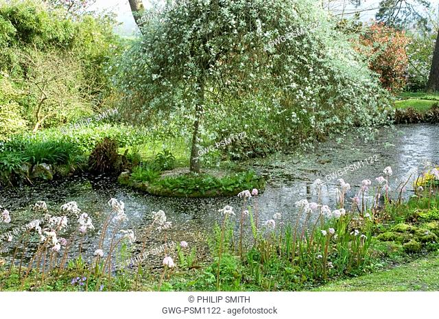 POND WITH WILLOW AND LINE OF DARMERA PELTATA. UMBRELLA PLANT. INDIAN RHUBARB. WAYFORD MANOR SOMERSET ENGLAND