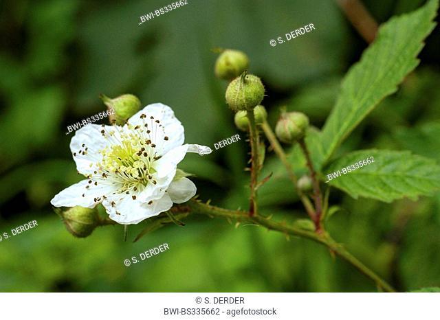 shrubby blackberry (Rubus fruticosus), blooming branch, Germany, North Rhine-Westphalia