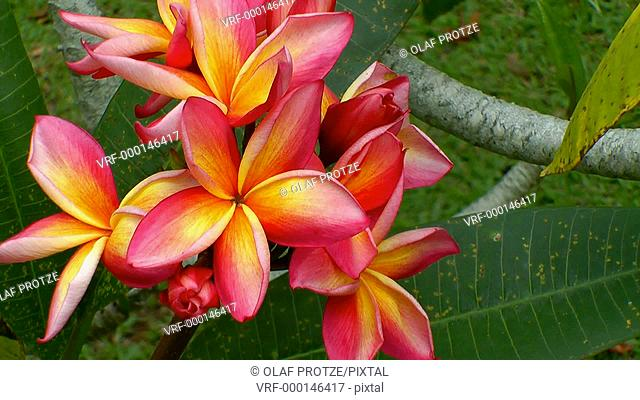 Close up of a red and yellow frangipani flower