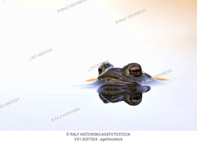 Common Toad ( Bufo bufo ) floating on beautiful water surface waiting for its mate, wildlife, Europe