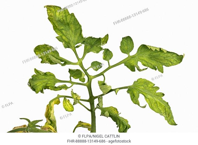 Tomato fern-leaf a symptom of TMV, CMV or PepMV virus on tomato plants