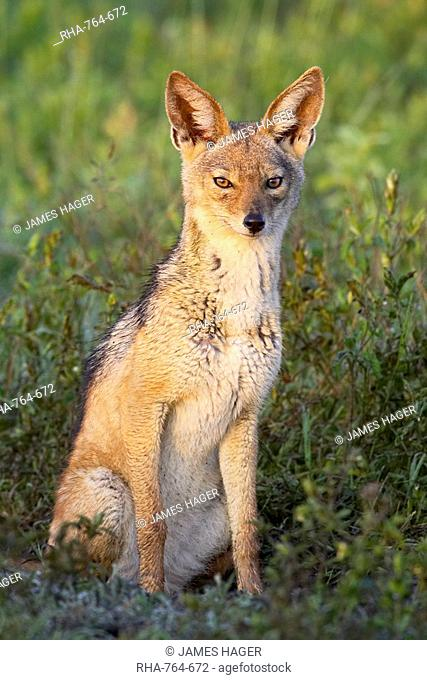 Black-backed jackal silver-backed jackal Canis mesomelas, Serengeti National Park, Tanzania, East Africa, Africa