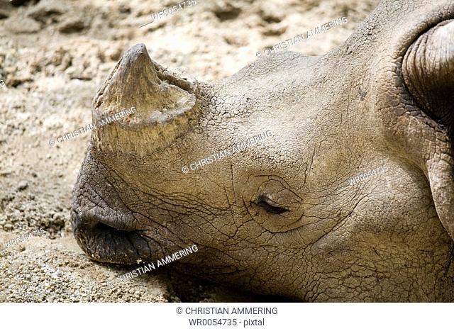Armored rhinoceros Rhinoceros unicornis