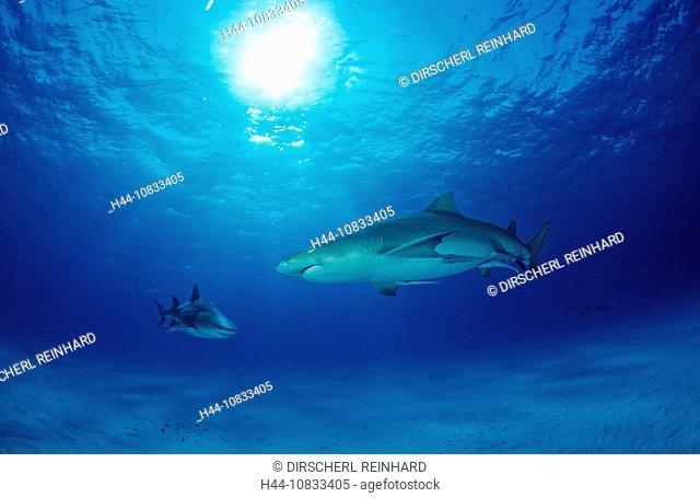 Lemon Shark, Negaprion brevirostris, Bahamas, Grand Bahama Island, Atlantic Ocean, Aquatic, Atlantic Ocean, cartilagin