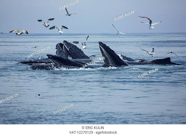 Humpback whales (Megaptera novaeangliae) and a flock of birds on the surface of the water; Massachusetts, United States of America