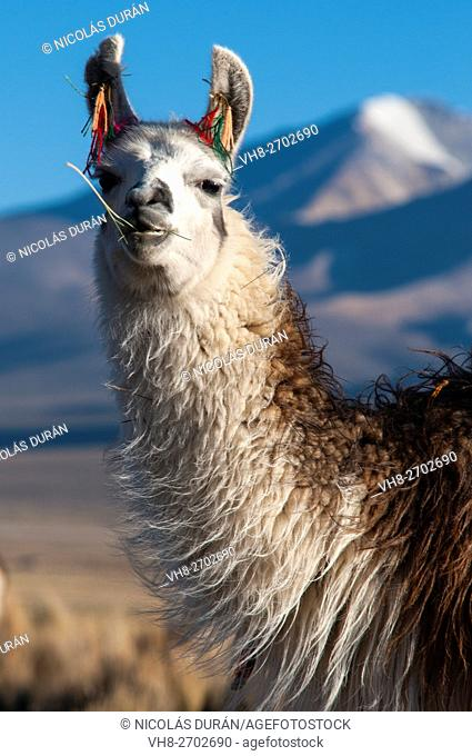 Alpaca face. Sajama National Park. Oruro Department. Bolivia