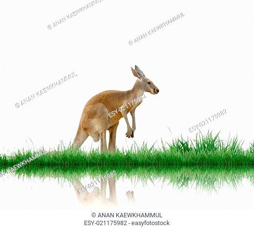 kangaroo isolated