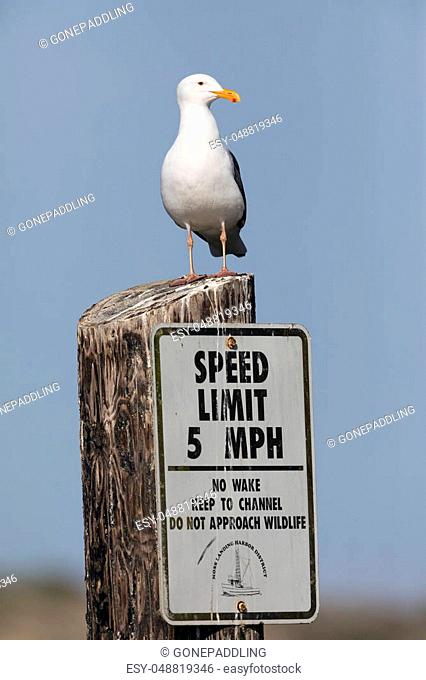California Gull (Larus californicus) perched on a posted speed limit sign - Monterey Peninsula, California