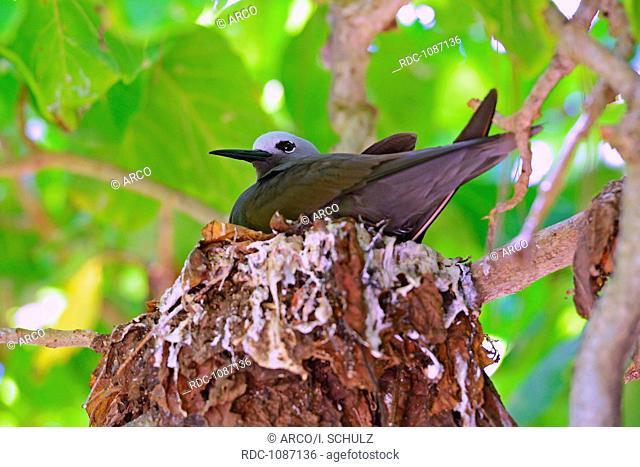Schlankschnabelnoddi ( Anous tenuirostris), sitzt auf Nest, Insel Cousin, Seychellen