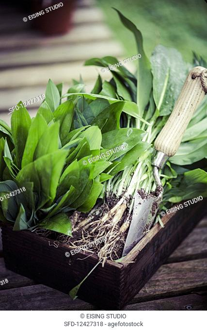 Freshly harvested wild garlic in a wooden crate