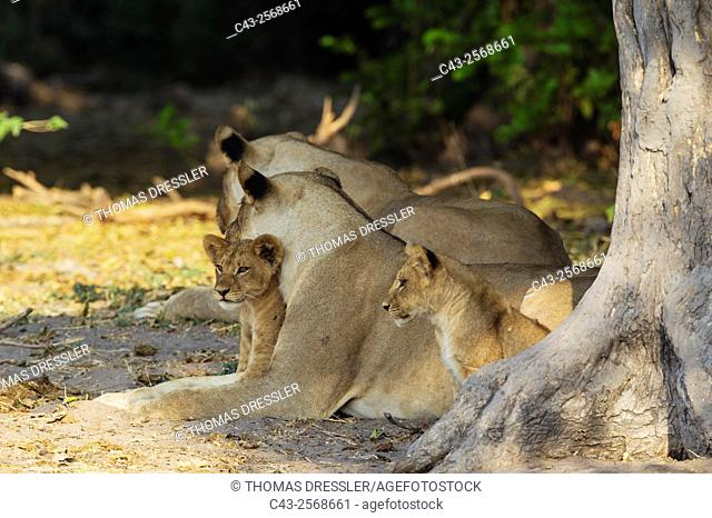 Lion (Panthera leo) - Two females and two cubs resting in the shade of a tree. Chobe National Park, Botswana