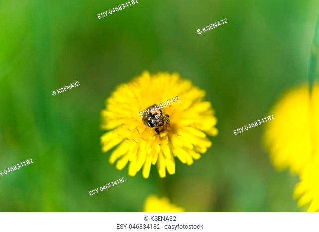 dandelion flower with insects on meadow