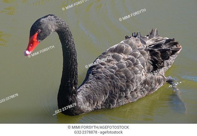 Black swan (Cygnus atratus), swimming. Hawai'i. Native to Australia