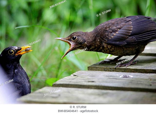 blackbird (Turdus merula), young bird begging, male feeding young bird out of the nest, Germany, Bavaria